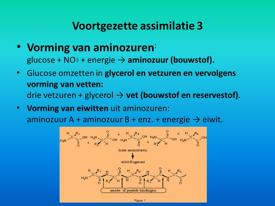 Voortgezette assimilatie 3 Vorming van aminozuren : glucose + NO 3 + energie → aminozuur (bouwstof). Glucose omzetten in glycerol en vetzuren en vervo
