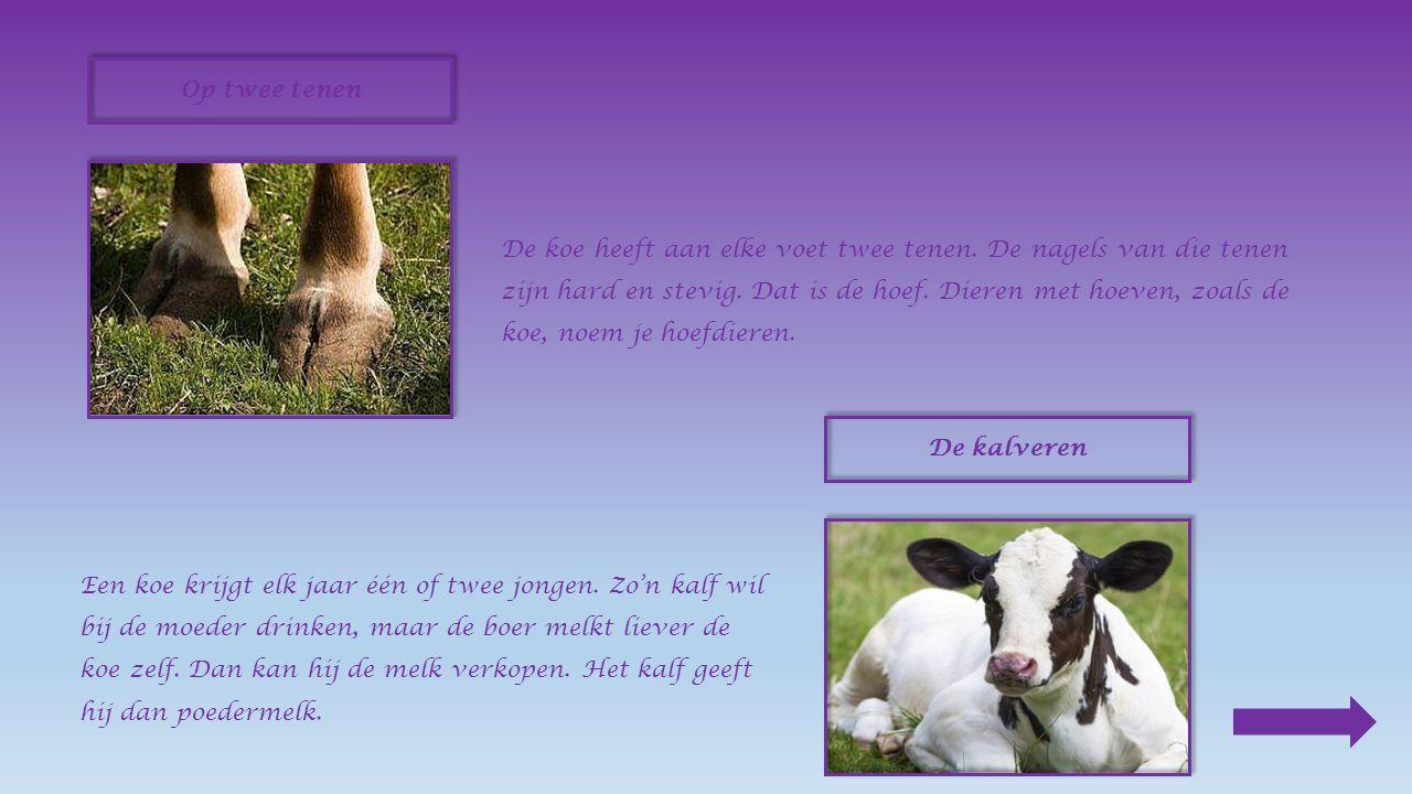 De koe wordt vooral gehouden omdat ze ons vlees en melk geeft. Een baas De koe leeft in een kudde. Een van hen is de baas. Waar zij heen gaat, volgen