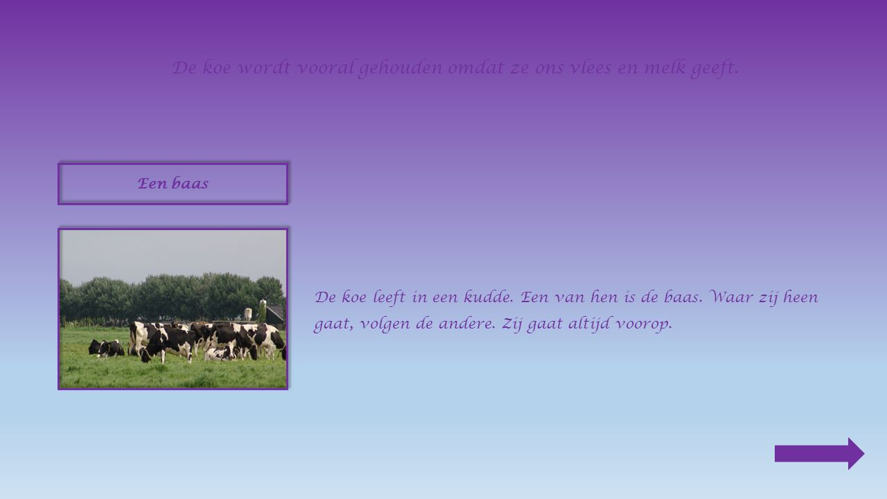 De koe wordt vooral gehouden omdat ze ons vlees en melk geeft.