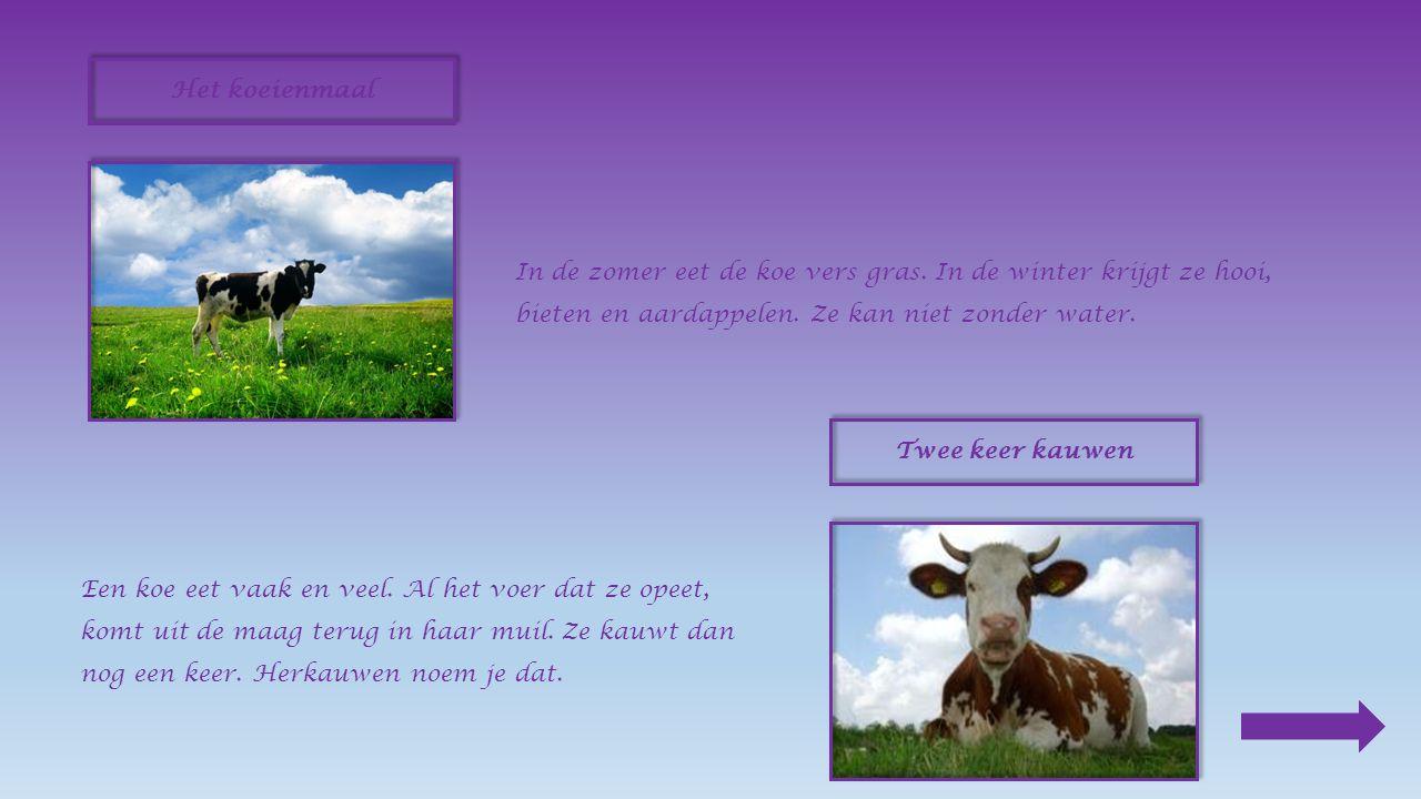1.Waarvoor kweekt de boer koeien ? Omdat ze ons vlees en melk geven. 2.Eén koe is de baas, de andere koeien luisteren naar haar. 3.Waarom laat de boer