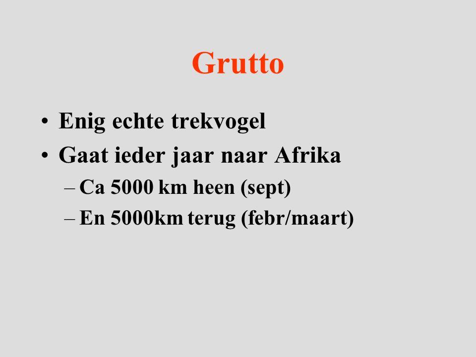 Grutto Enig echte trekvogel Gaat ieder jaar naar Afrika –Ca 5000 km heen (sept) –En 5000km terug (febr/maart)