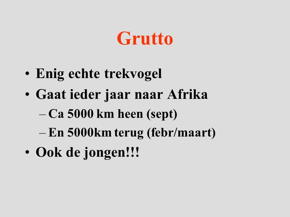 Grutto Enig echte trekvogel Gaat ieder jaar naar Afrika –Ca 5000 km heen (sept) –En 5000km terug (febr/maart) Ook de jongen!!!