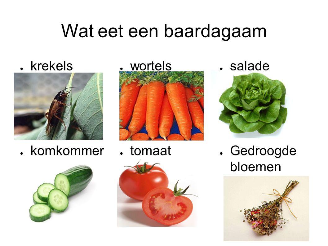● krekels ● wortels ● salade ● Gedroogde bloemen ● tomaat ● komkommer Wat eet een baardagaam