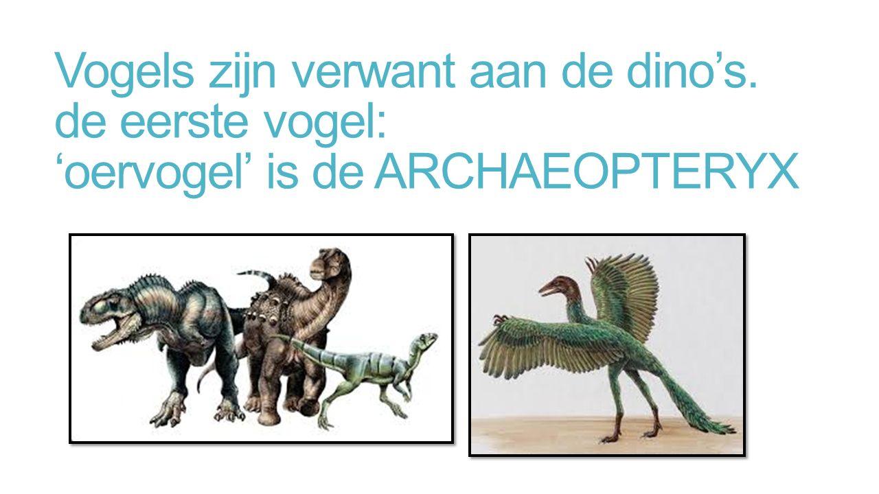 Vogels zijn verwant aan de dino's. de eerste vogel: 'oervogel' is de ARCHAEOPTERYX
