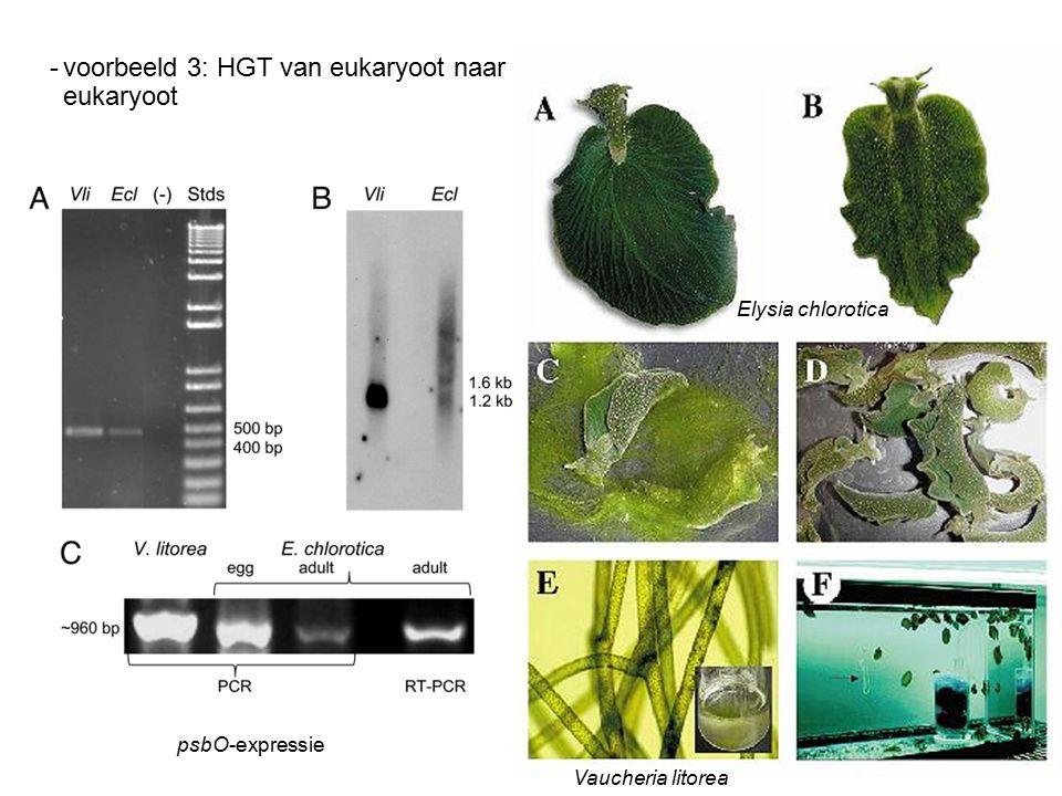 -voorbeeld 3: HGT van eukaryoot naar eukaryoot psbO-expressie Elysia chlorotica Vaucheria litorea