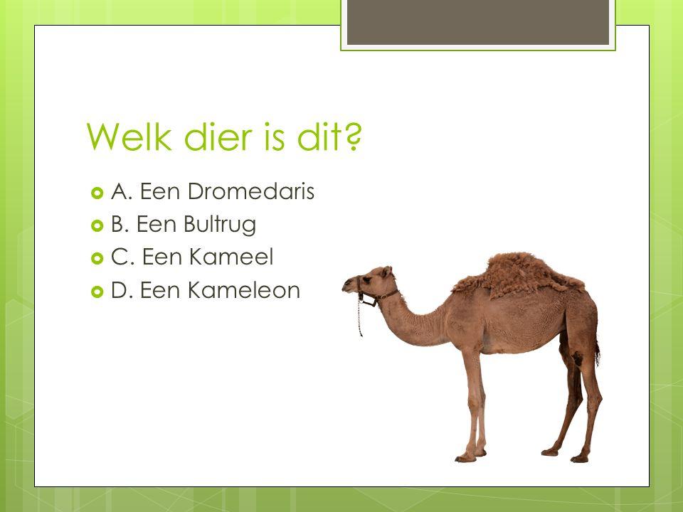 Welk dier is dit?  A. Een Dromedaris  B. Een Bultrug  C. Een Kameel  D. Een Kameleon