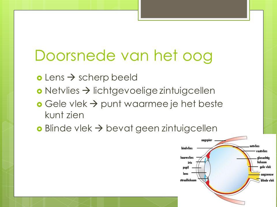 Doorsnede van het oog  Lens  scherp beeld  Netvlies  lichtgevoelige zintuigcellen  Gele vlek  punt waarmee je het beste kunt zien  Blinde vlek  bevat geen zintuigcellen