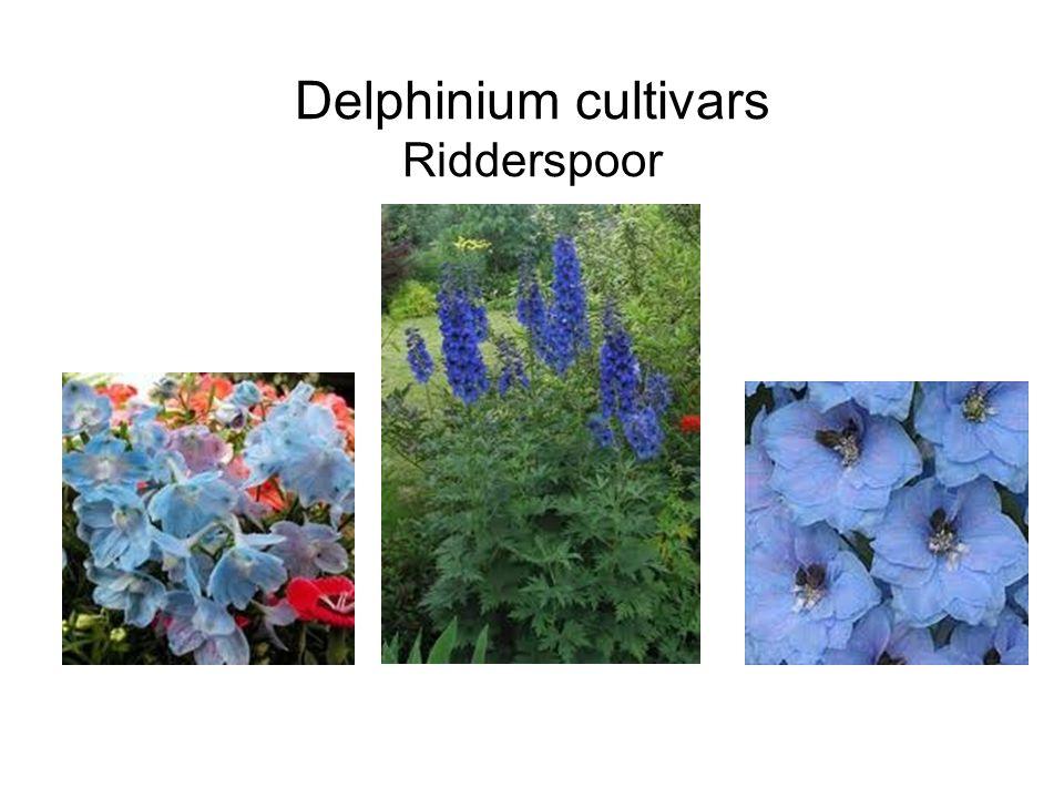 Delphinium cultivars Ridderspoor