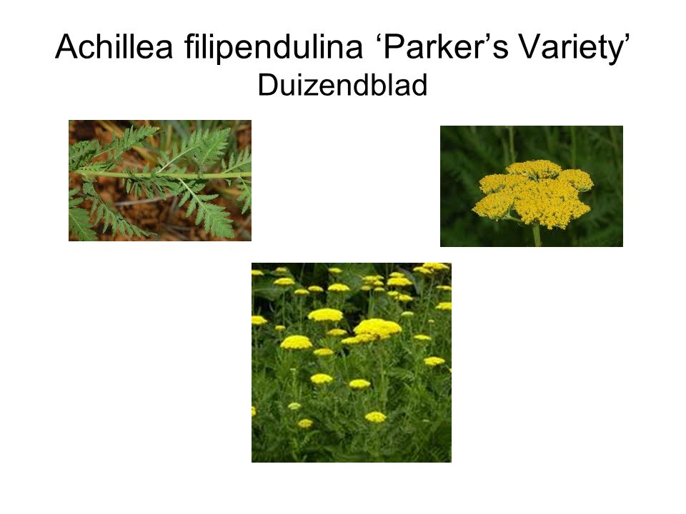 Achillea filipendulina 'Parker's Variety' Duizendblad