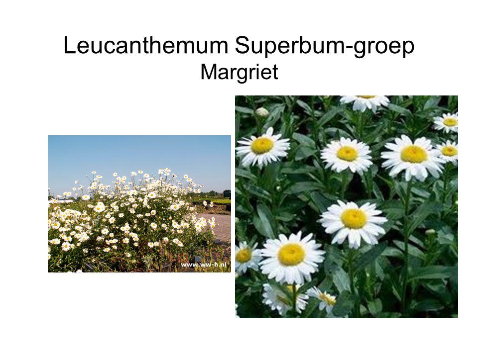 Leucanthemum Superbum-groep Margriet