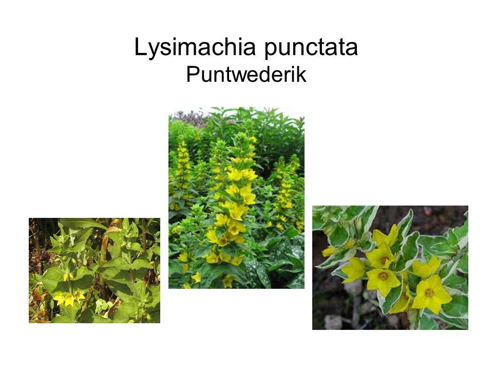 Lysimachia punctata Puntwederik