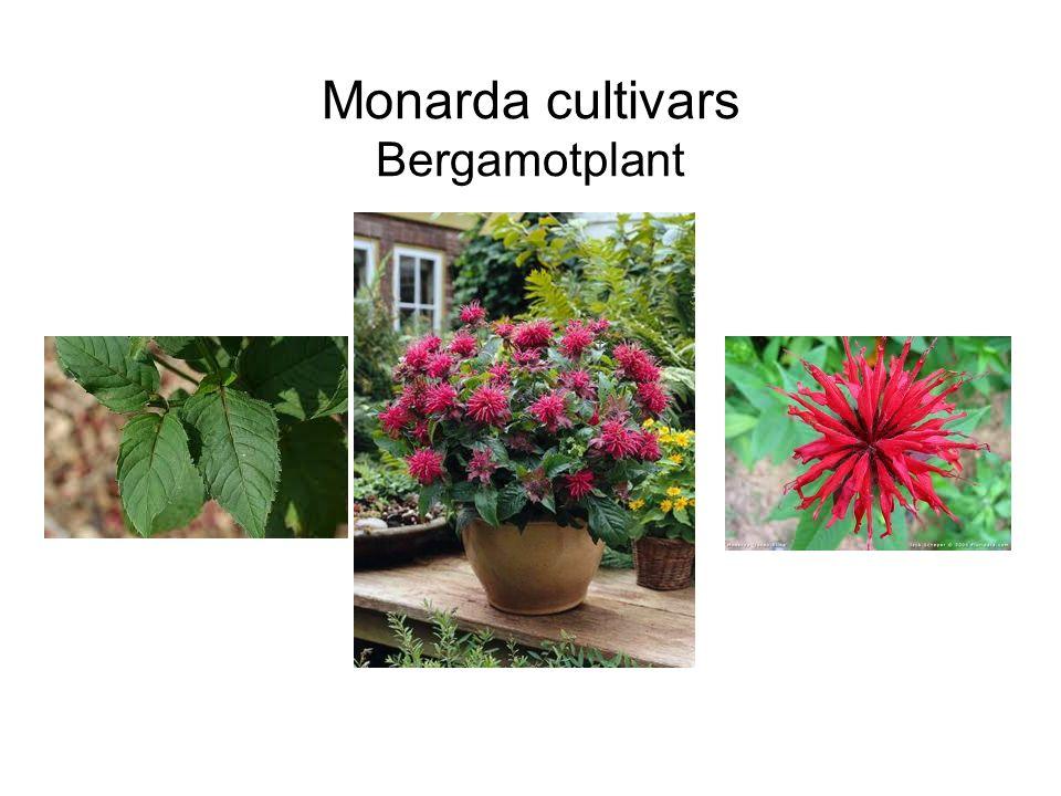 Monarda cultivars Bergamotplant