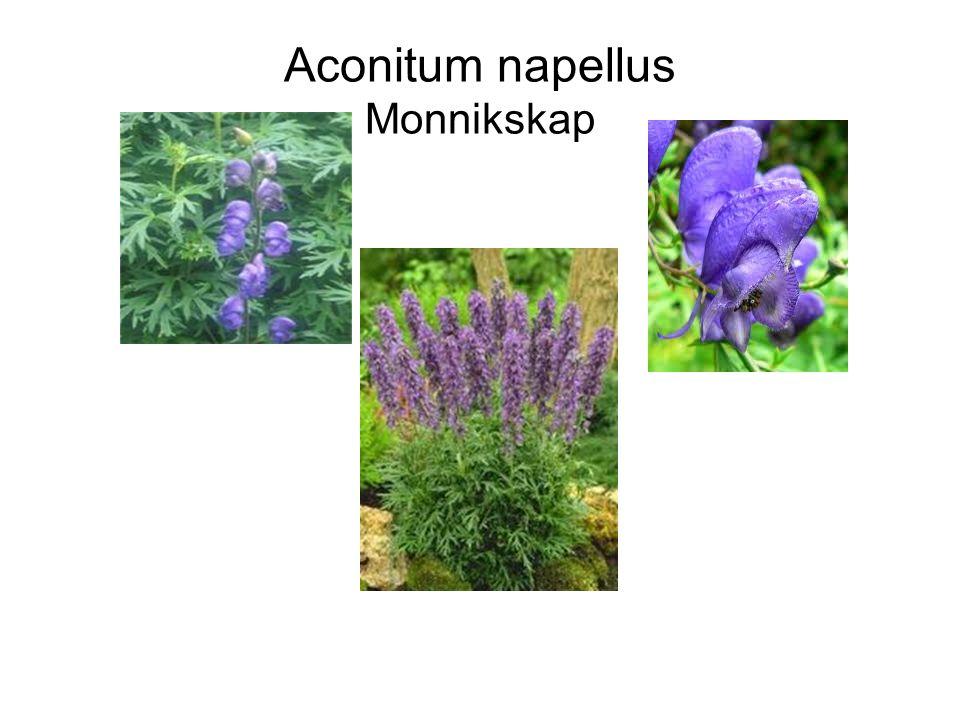 Lupinus cultivars Lupine