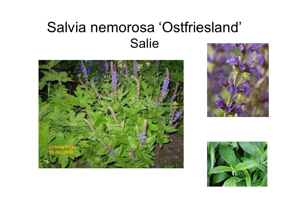 Salvia nemorosa 'Ostfriesland' Salie