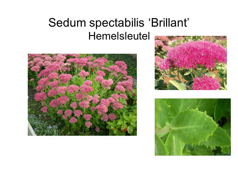 Sedum spectabilis 'Brillant' Hemelsleutel