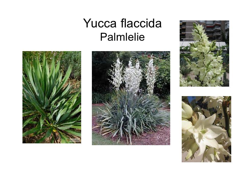 Yucca flaccida Palmlelie