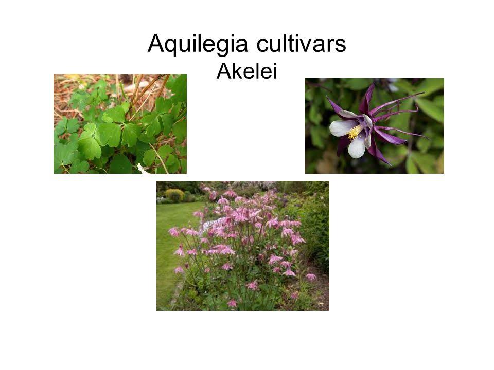 Solidago cultivars Guldenroede