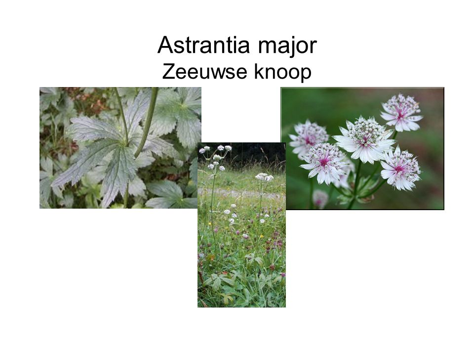Astrantia major Zeeuwse knoop