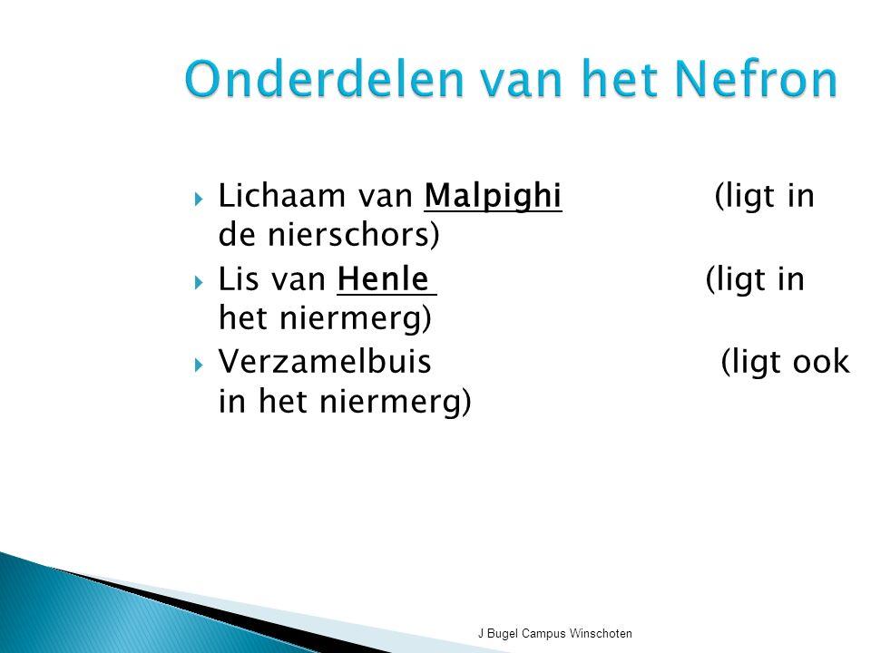 Onderdelen van het Nefron  Lichaam van Malpighi (ligt in de nierschors)  Lis van Henle (ligt in het niermerg)  Verzamelbuis (ligt ook in het niermerg)