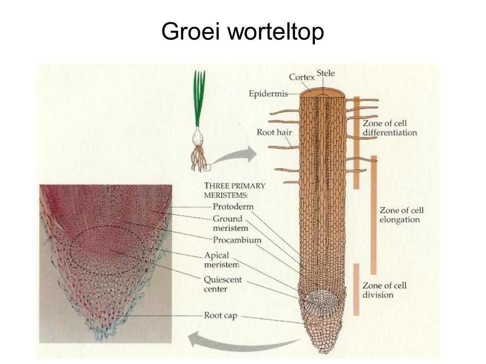 Groei worteltop