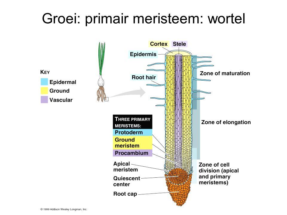 Groei: primair meristeem: wortel