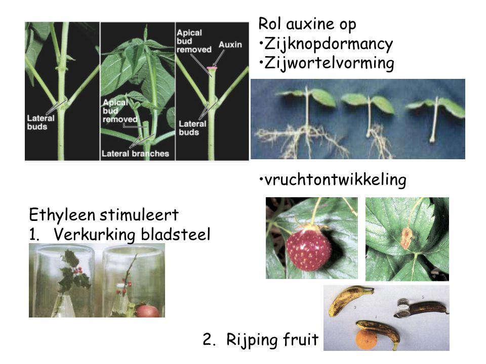Rol auxine op Zijknopdormancy Zijwortelvorming vruchtontwikkeling Ethyleen stimuleert 1.Verkurking bladsteel 2.Rijping fruit