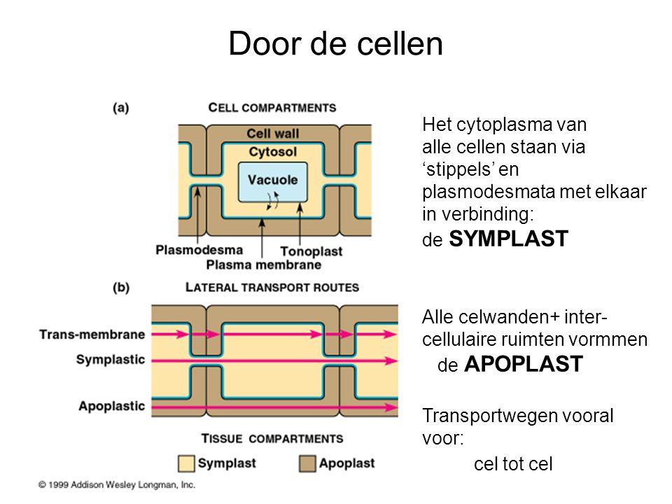 Het cytoplasma van alle cellen staan via 'stippels' en plasmodesmata met elkaar in verbinding: de SYMPLAST Alle celwanden+ inter- cellulaire ruimten v