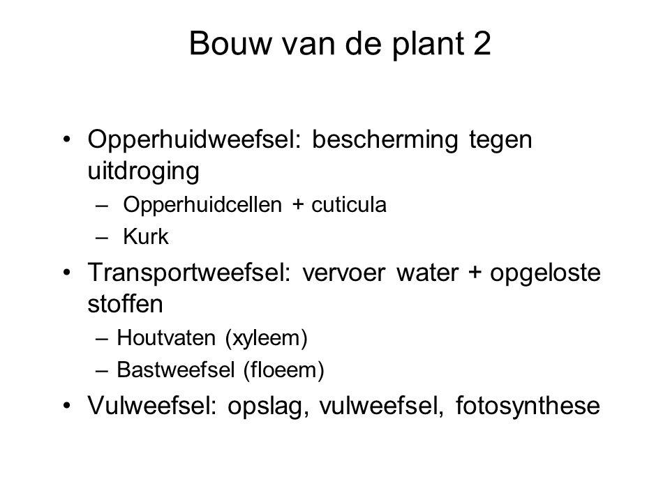 Bouw van de plant 2 Opperhuidweefsel: bescherming tegen uitdroging – Opperhuidcellen + cuticula – Kurk Transportweefsel: vervoer water + opgeloste sto
