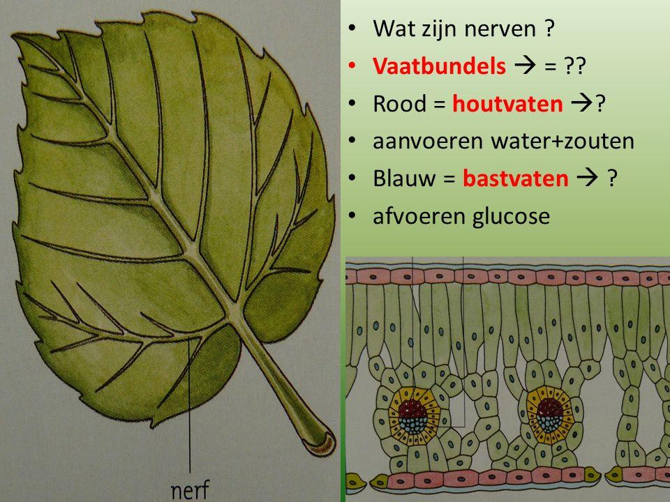 Wat zijn nerven ? Vaatbundels  = ?? Rood = houtvaten  ? aanvoeren water+zouten Blauw = bastvaten  ? afvoeren glucose