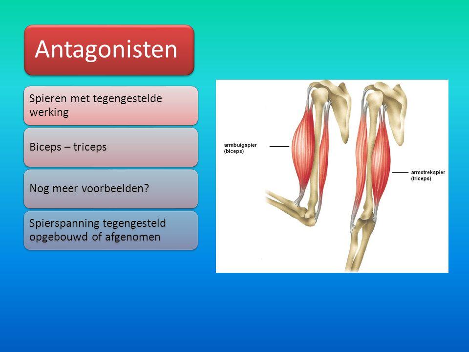Antagonisten Spieren met tegengestelde werking Biceps – tricepsNog meer voorbeelden.