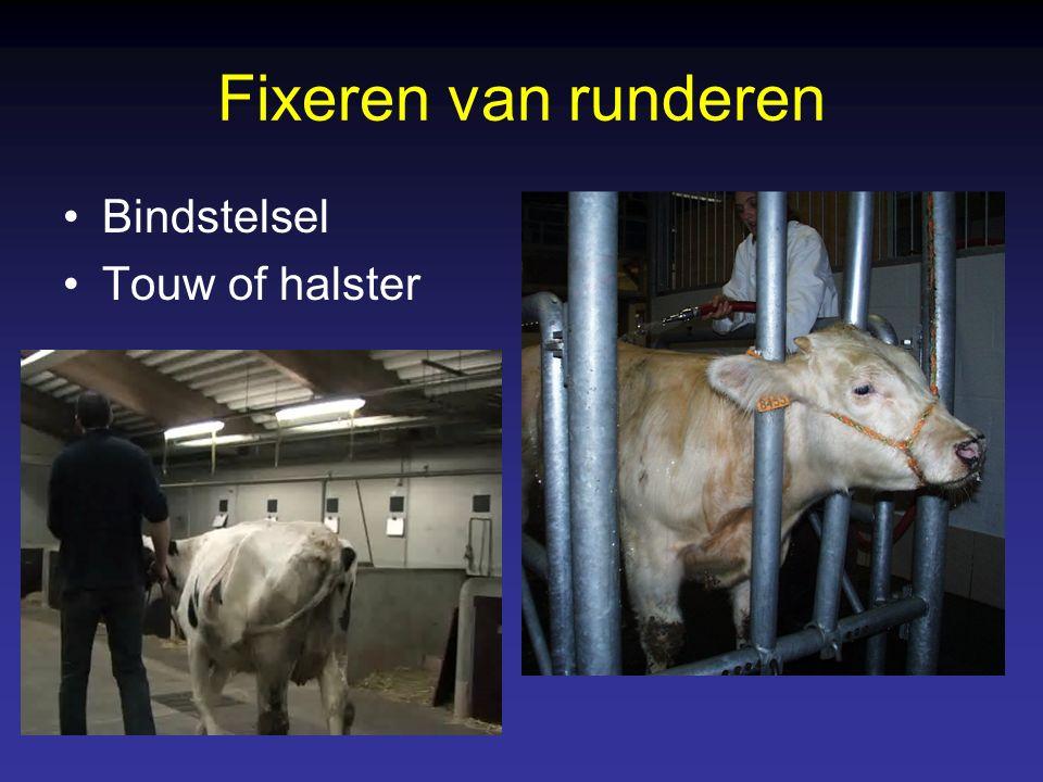 Fixeren van runderen Bindstelsel Touw of halster