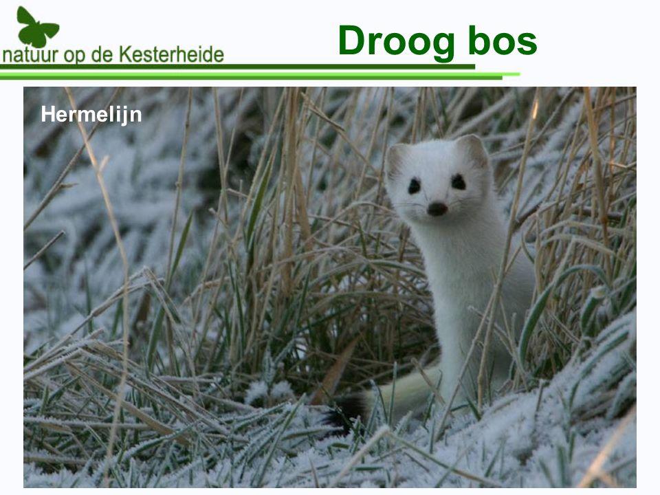 Droog bos Hermelijn