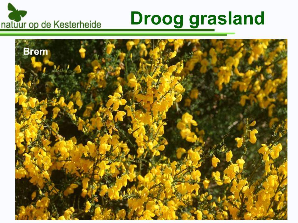 Droog grasland Brem