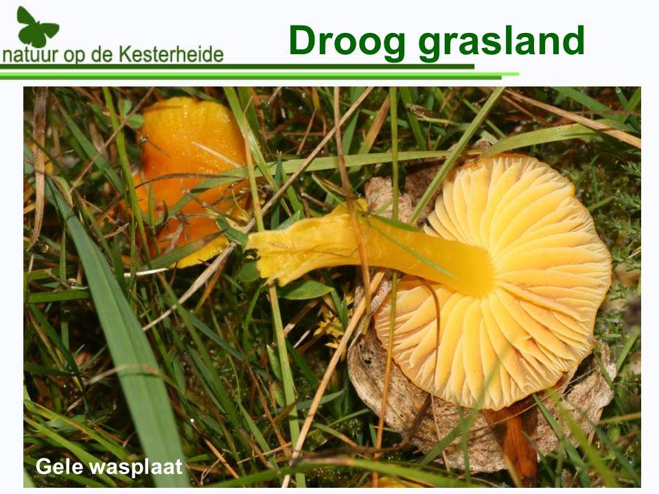 Droog grasland Gele wasplaat