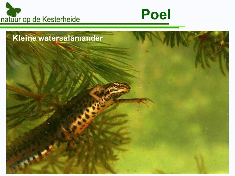 Poel Kleine watersalamander