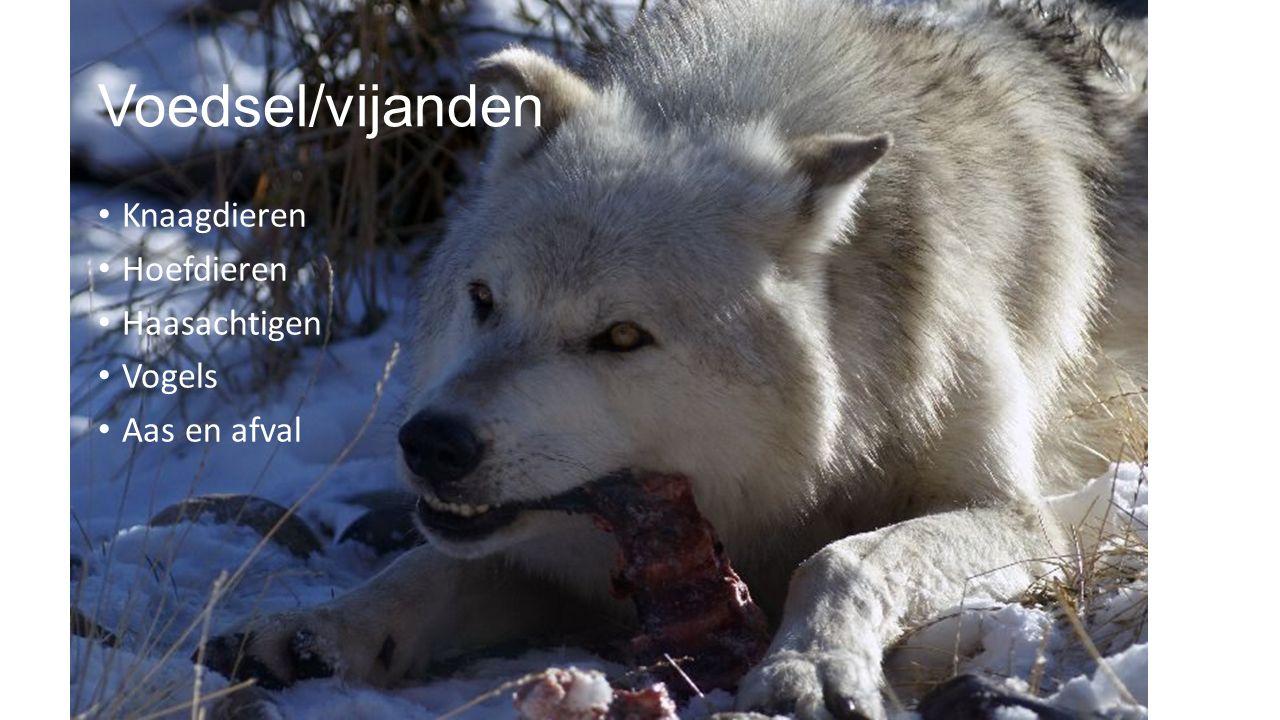 Soorten wolven Er zijn 42 soorten wolven 13 zijn uitgestorven (dus 29 leven er nog) Er leven in warme en koude landen wolven