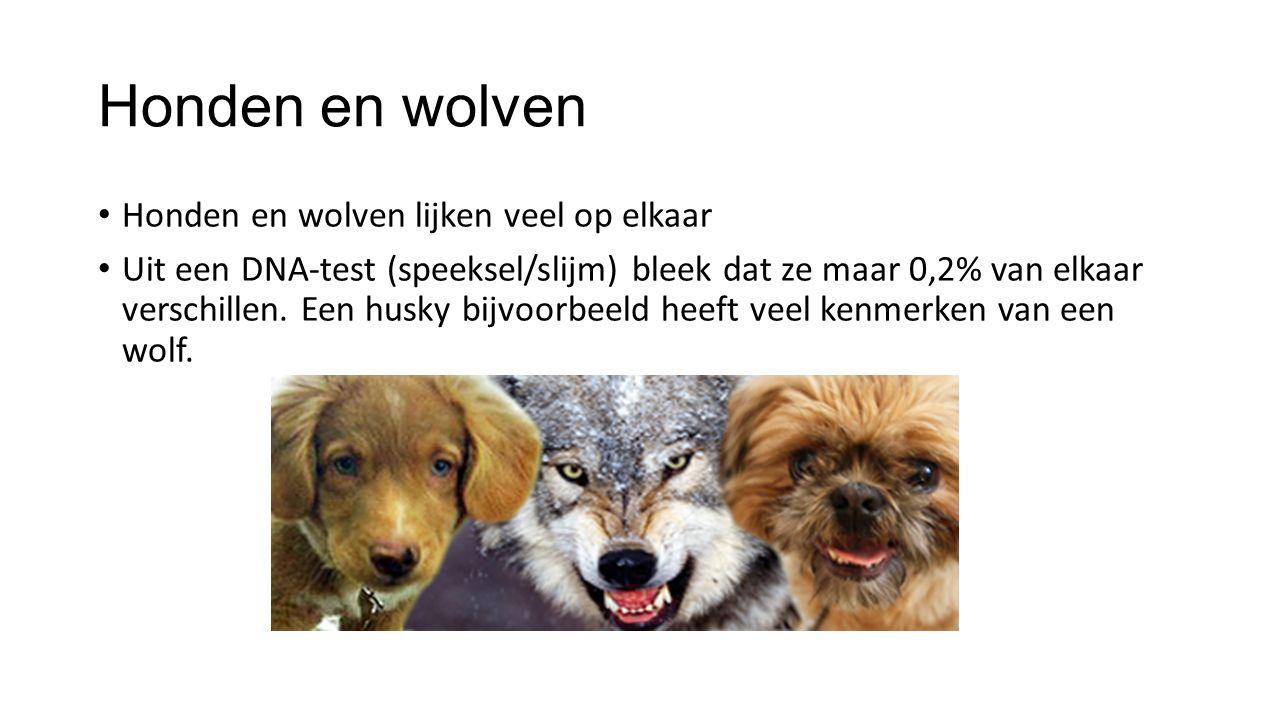 Honden en wolven Honden en wolven lijken veel op elkaar Uit een DNA-test (speeksel/slijm) bleek dat ze maar 0,2% van elkaar verschillen. Een husky bij