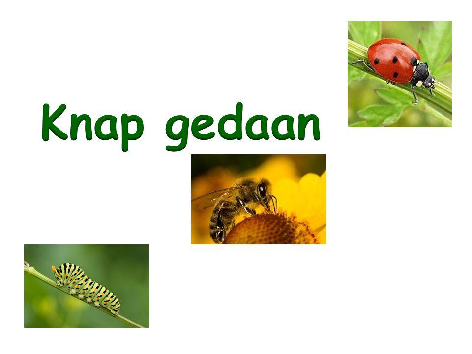 Welk woord hoor je het laatst: kikkervisje, pissebed, vlinder, spin.