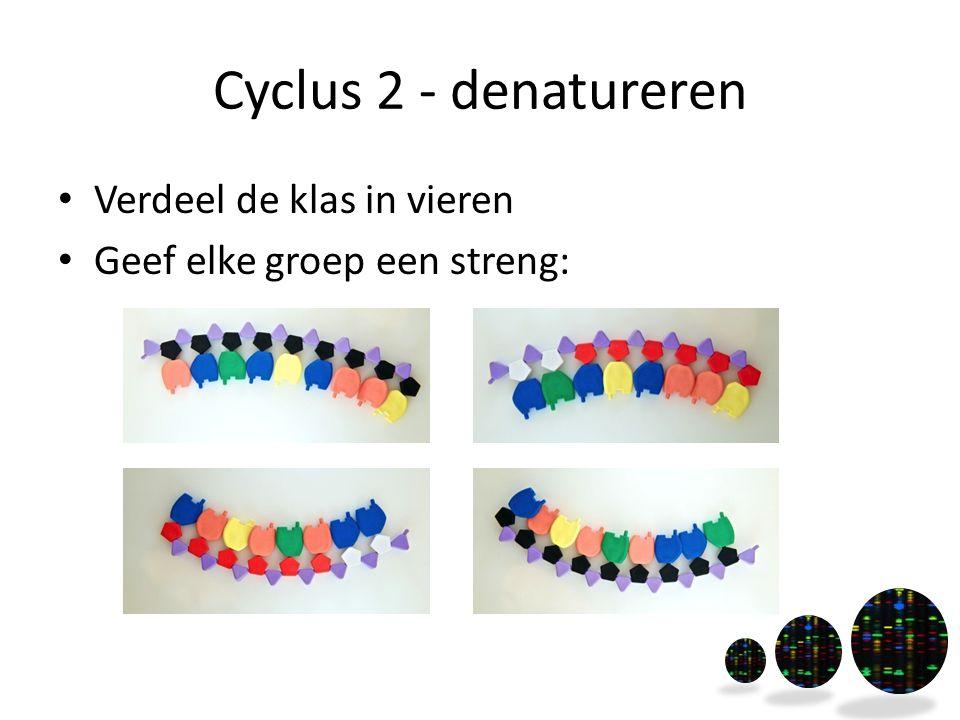 Cyclus 2 - denatureren Verdeel de klas in vieren Geef elke groep een streng: