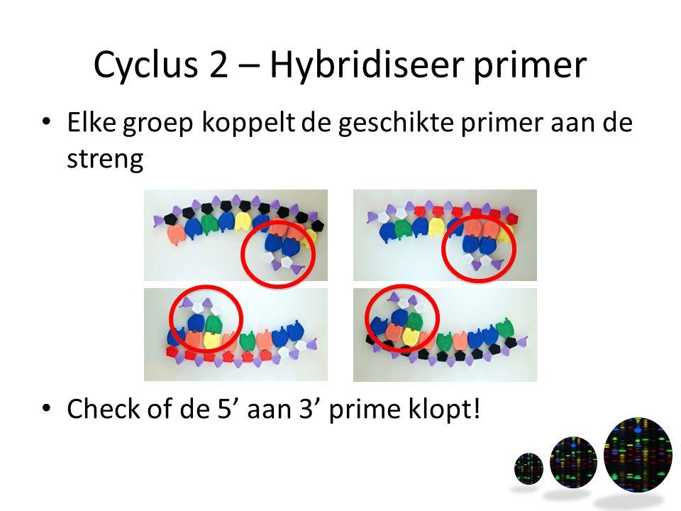 Cyclus 2 – Hybridiseer primer Elke groep koppelt de geschikte primer aan de streng Check of de 5' aan 3' prime klopt!
