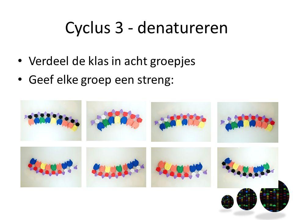 Cyclus 3 - denatureren Verdeel de klas in acht groepjes Geef elke groep een streng: