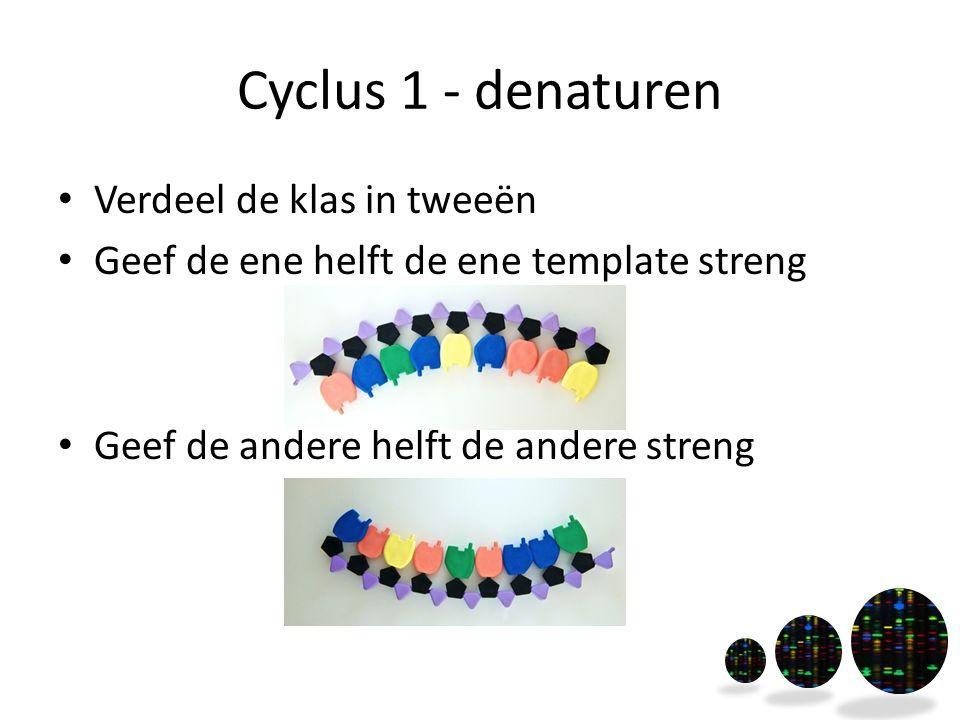 Cyclus 1 - denaturen Verdeel de klas in tweeën Geef de ene helft de ene template streng Geef de andere helft de andere streng