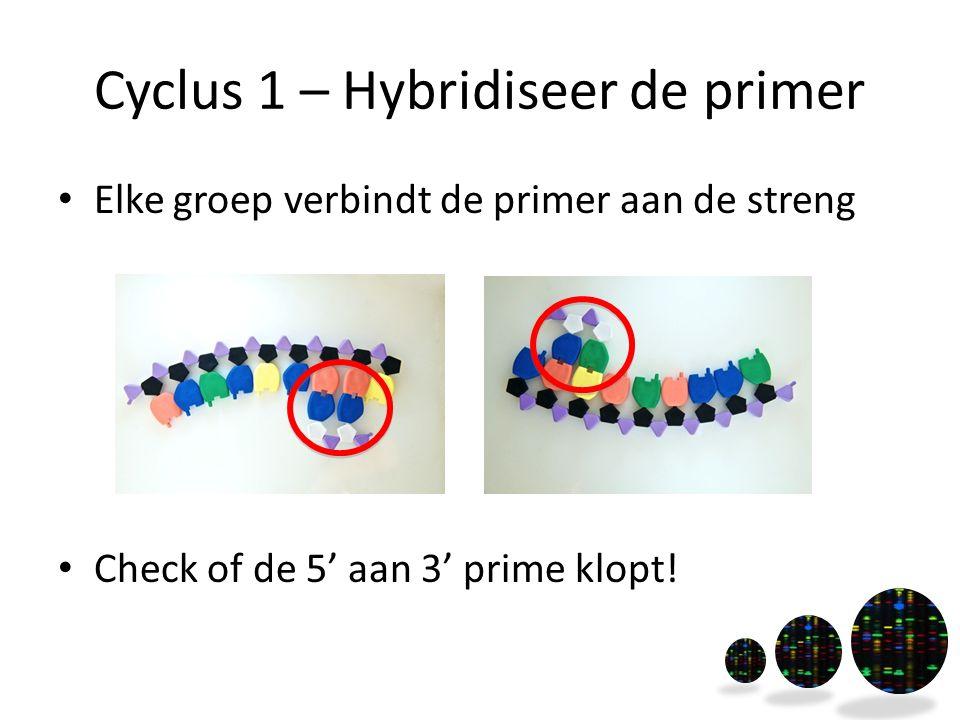 Cyclus 1 – Hybridiseer de primer Elke groep verbindt de primer aan de streng Check of de 5' aan 3' prime klopt!