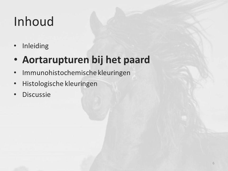 Aortarupturen bij het paard * Warmbloedpaarden = connectieplaats * Friese paarden = 1) Acute vorm 2) Semistabiele vorm 3) Stabiele vorm Fries paard Warmbloed paarden 7