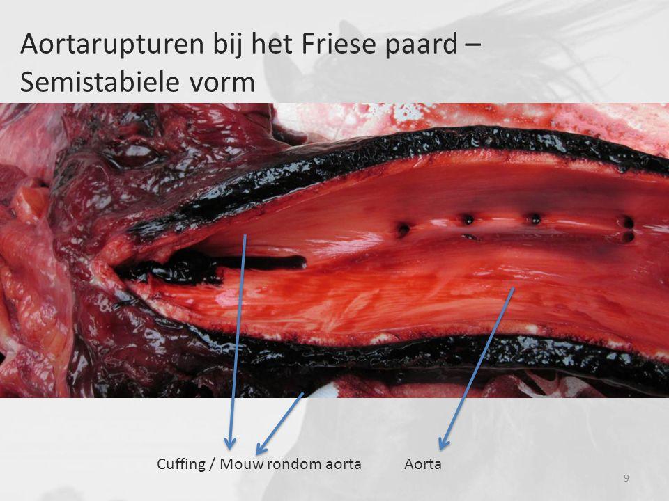 Aortarupturen bij het Friese paard – Semistabiele vorm Cuffing / Mouw rondom aortaAorta 9