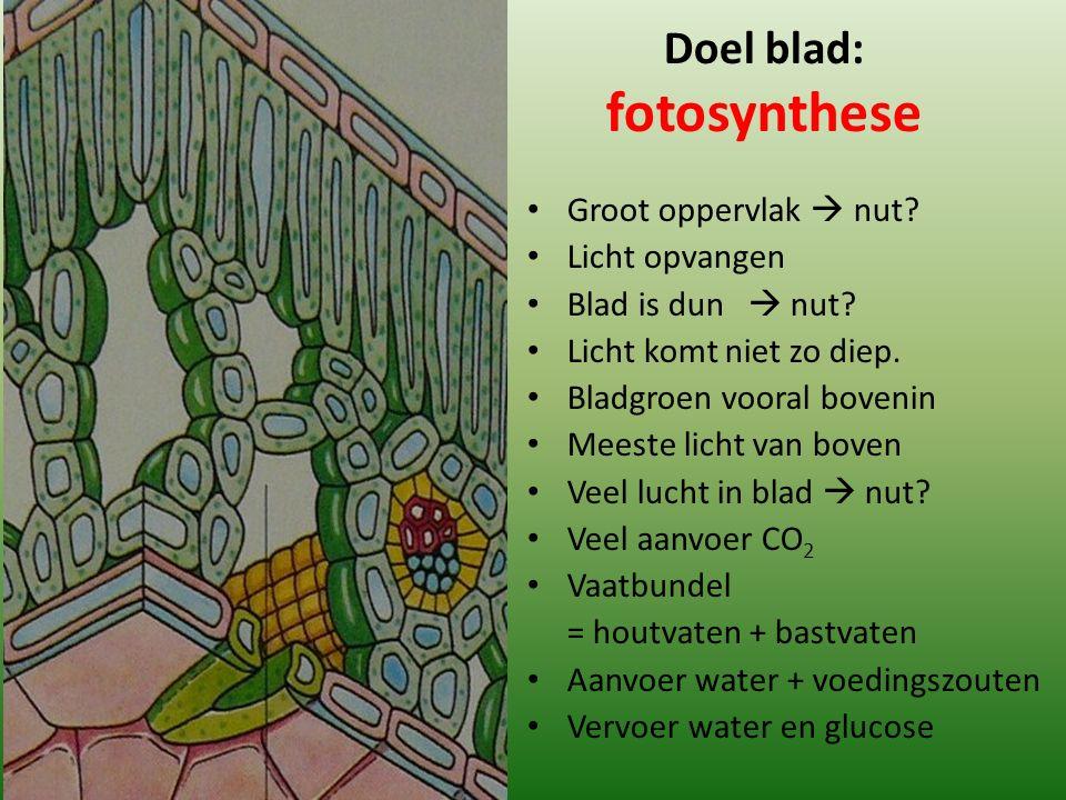Doel blad: fotosynthese Groot oppervlak  nut? Licht opvangen Blad is dun  nut? Licht komt niet zo diep. Bladgroen vooral bovenin Meeste licht van bo