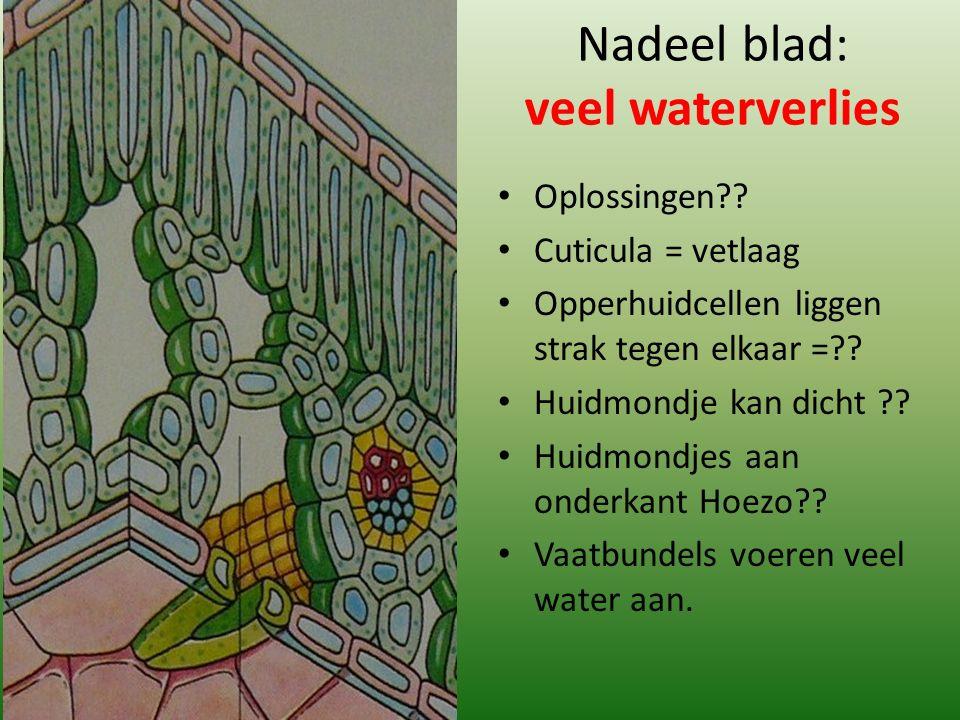 Nadeel blad: veel waterverlies Oplossingen?? Cuticula = vetlaag Opperhuidcellen liggen strak tegen elkaar =?? Huidmondje kan dicht ?? Huidmondjes aan