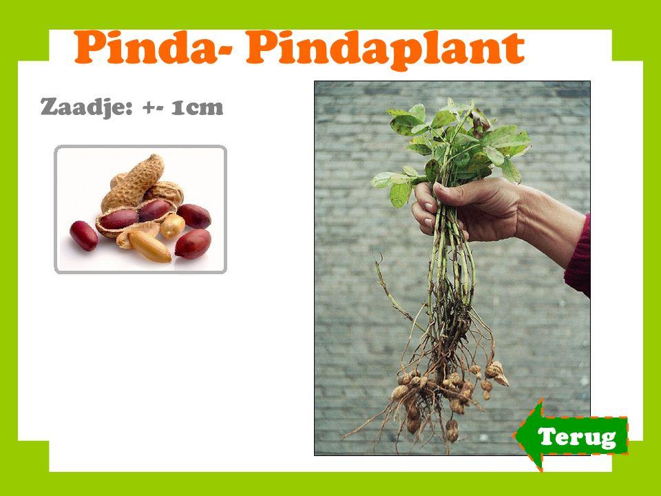 Pinda- Pindaplant Zaadje: +- 1cm Terug