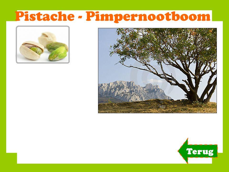 Pistache - Pimpernootboom Terug