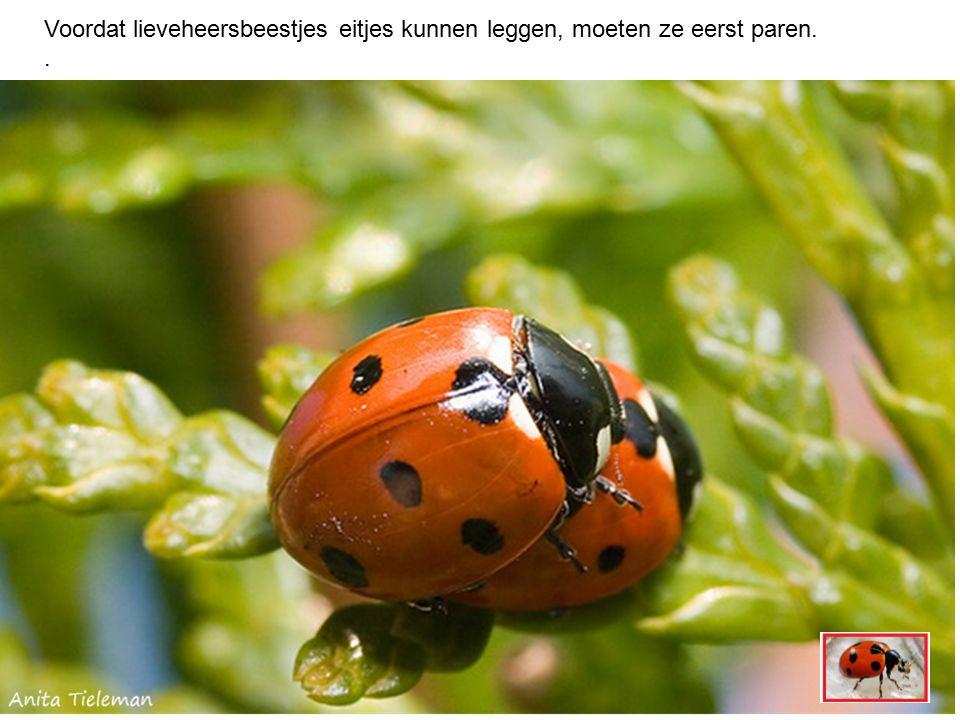 Voordat lieveheersbeestjes eitjes kunnen leggen, moeten ze eerst paren..